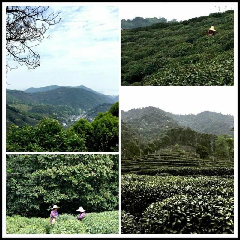 Longjing Tea Plantation in Hangzhou, China