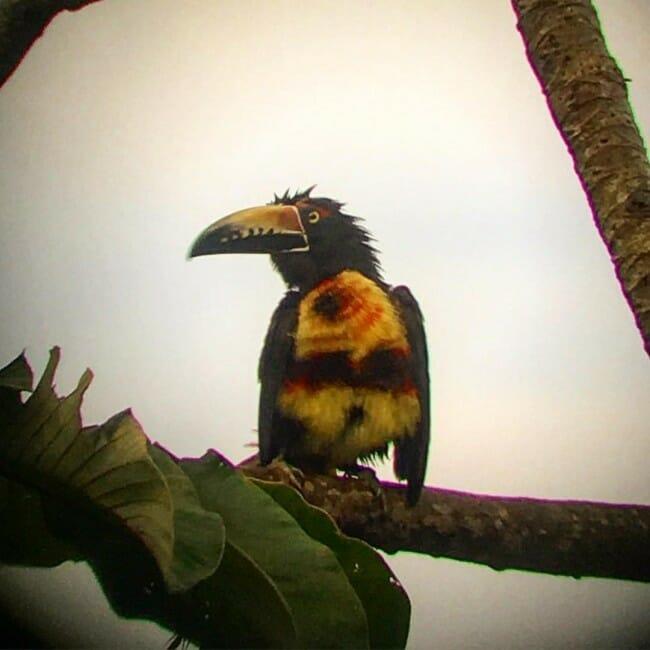 a toucan in belize