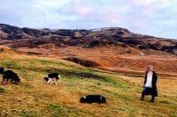 The Story of Icelandic Lamb