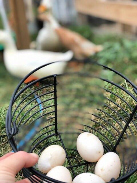 gathering duck eggs
