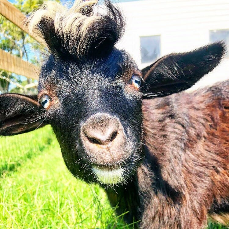 Willie the fainting goat at Sugar Water Manor