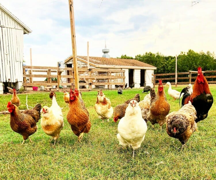 chickens on the farm at sugar water manor